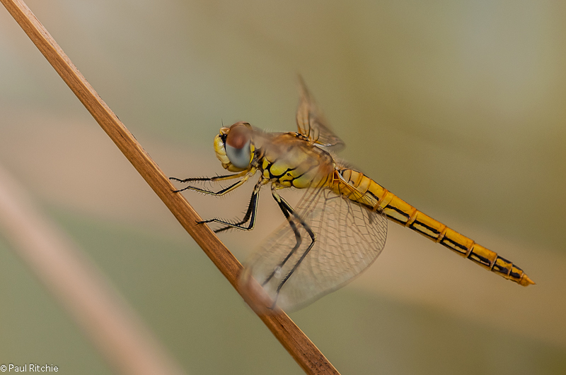 Red-veined Darter - female