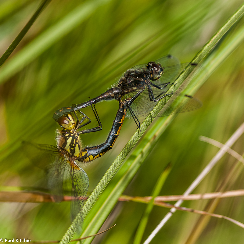 Black Darters - mating wheel