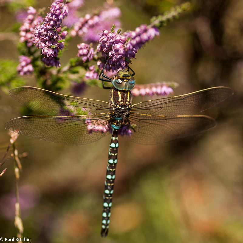 Common Hawker - male
