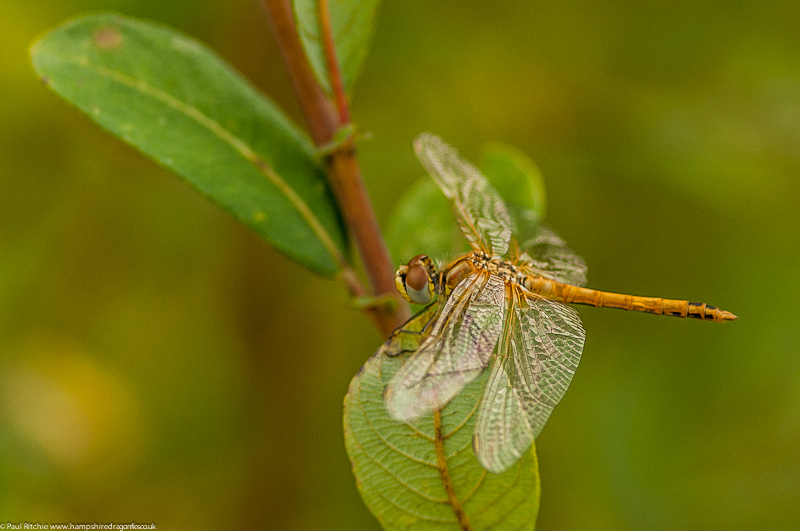 Red-veined Darter - immature male