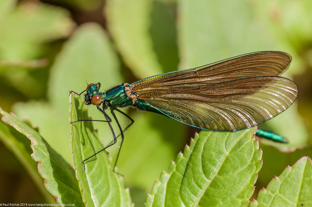 Beautiful Demoiselle – Immature male