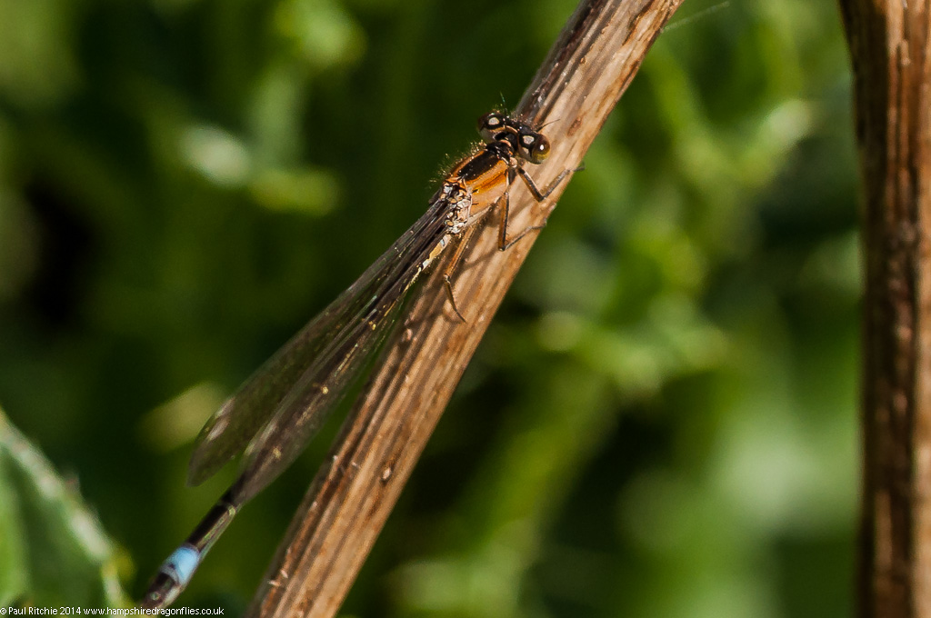 Blue-tailed Damselfly - Immature female (rufenscens)