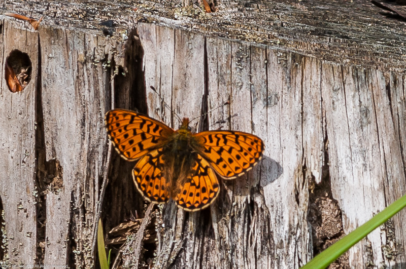 Pearl-bordered Fritillary - Male