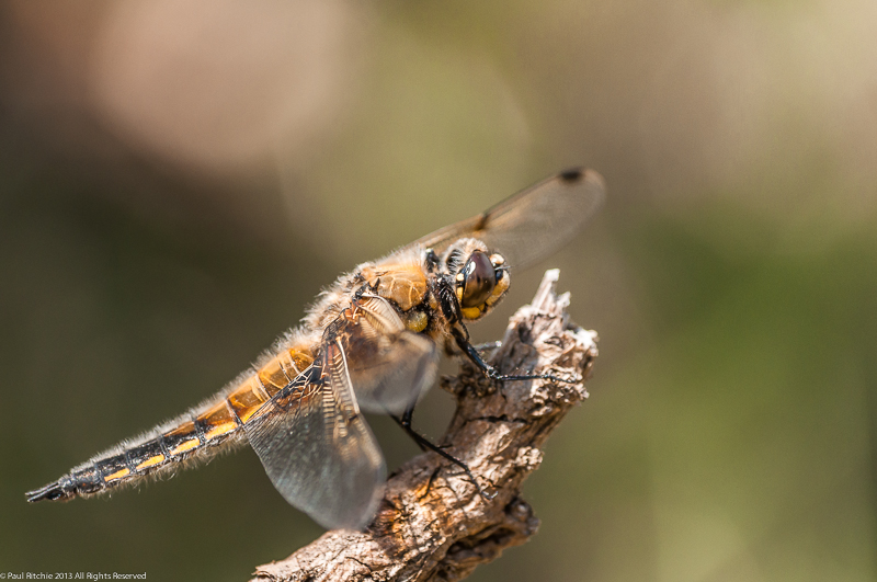 Four-spotted Chaser - male