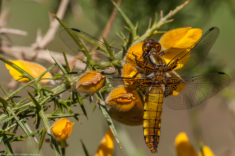 Broad-bodied Chaser - female