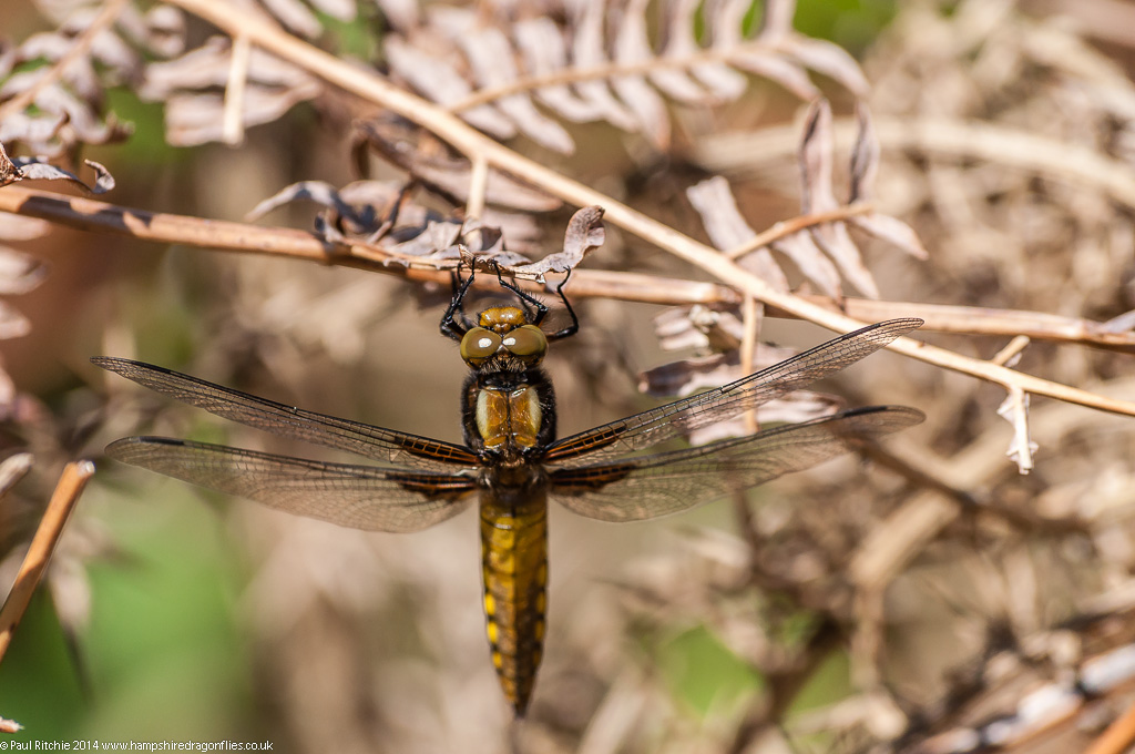 Broad-bodied Chaser – Immature male
