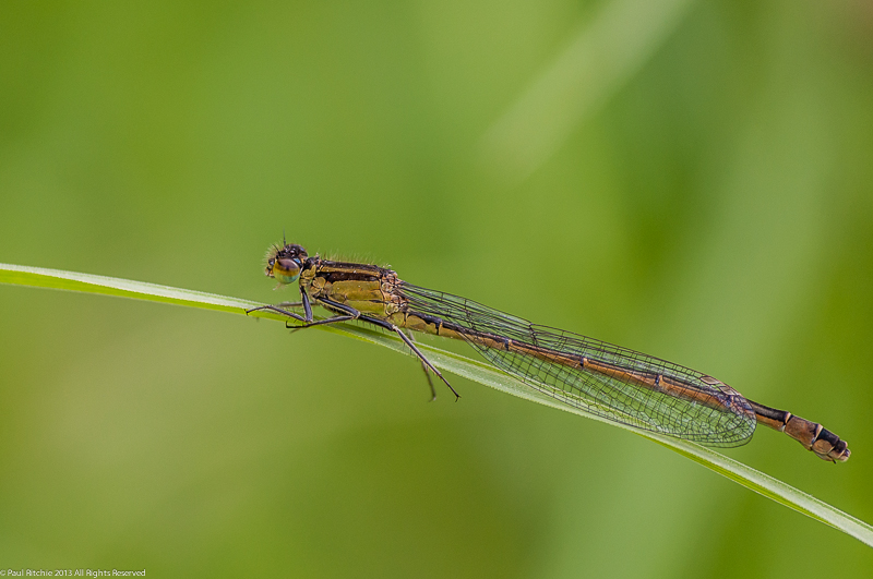 Blue-tailed Damselfly -  infuscans form