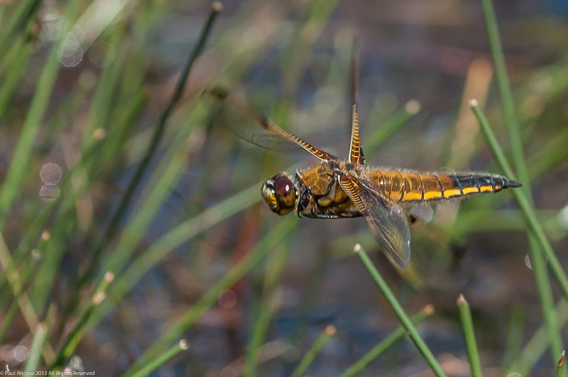 Four-spotted Chaser - female