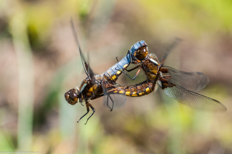 Broad-bodied Chasers - mating pair