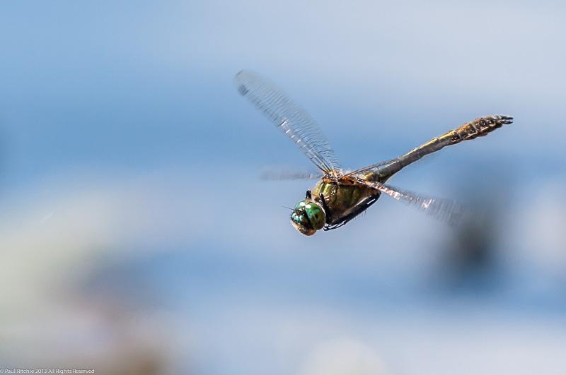 Downy Emerald - male