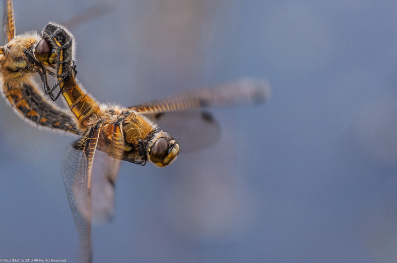 Four-spotted Chasers - mating pair