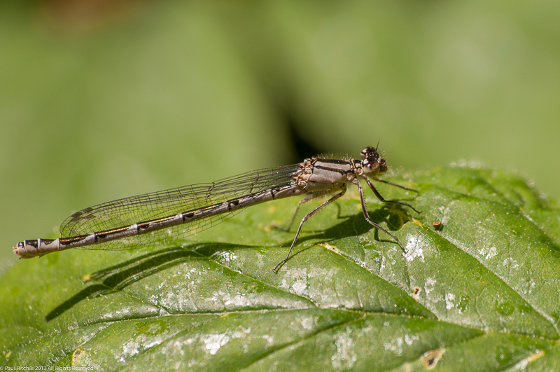 Common Blue Damselfly - Immature female