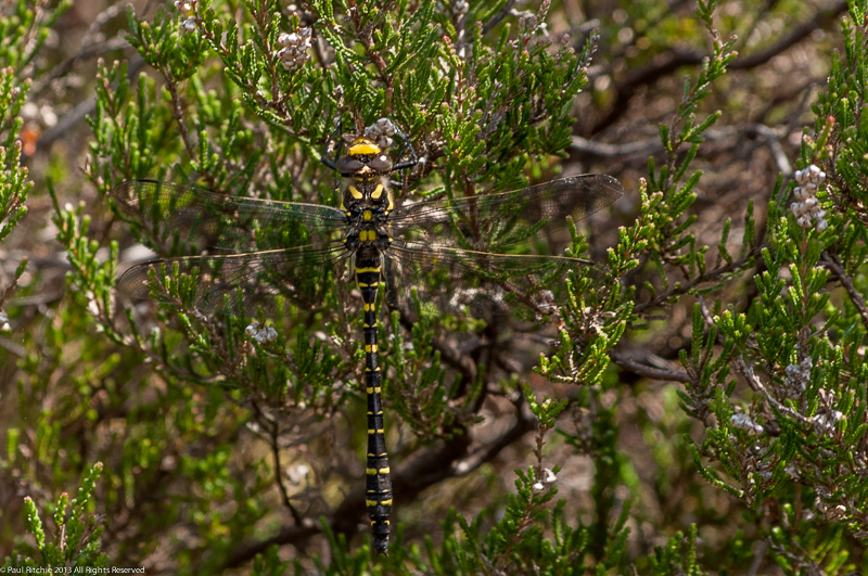 Golden-ringed Dragonfly - Immature male