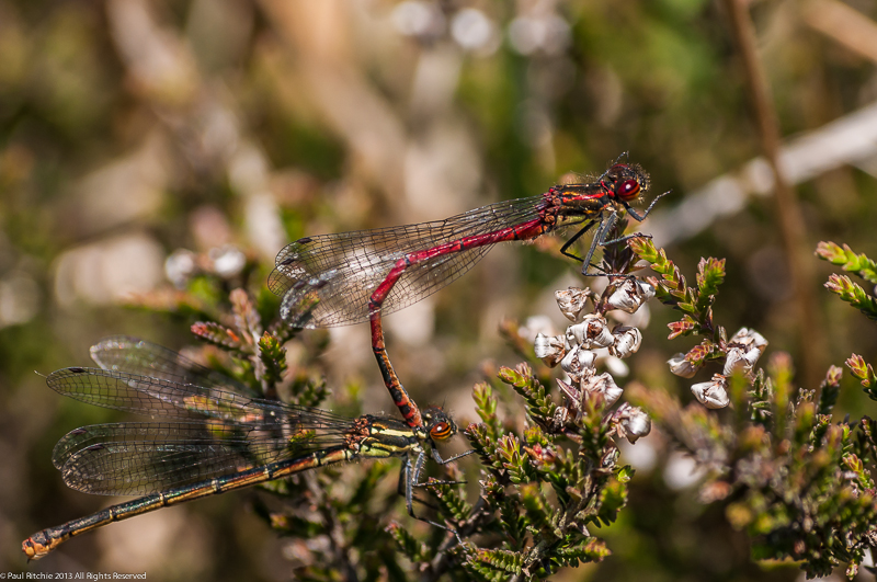 Large Red Damseflies - male & female in tandem