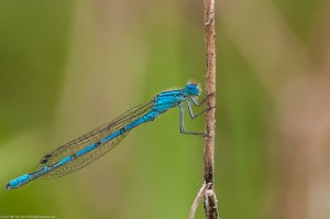 Common Blue Damselfly - male