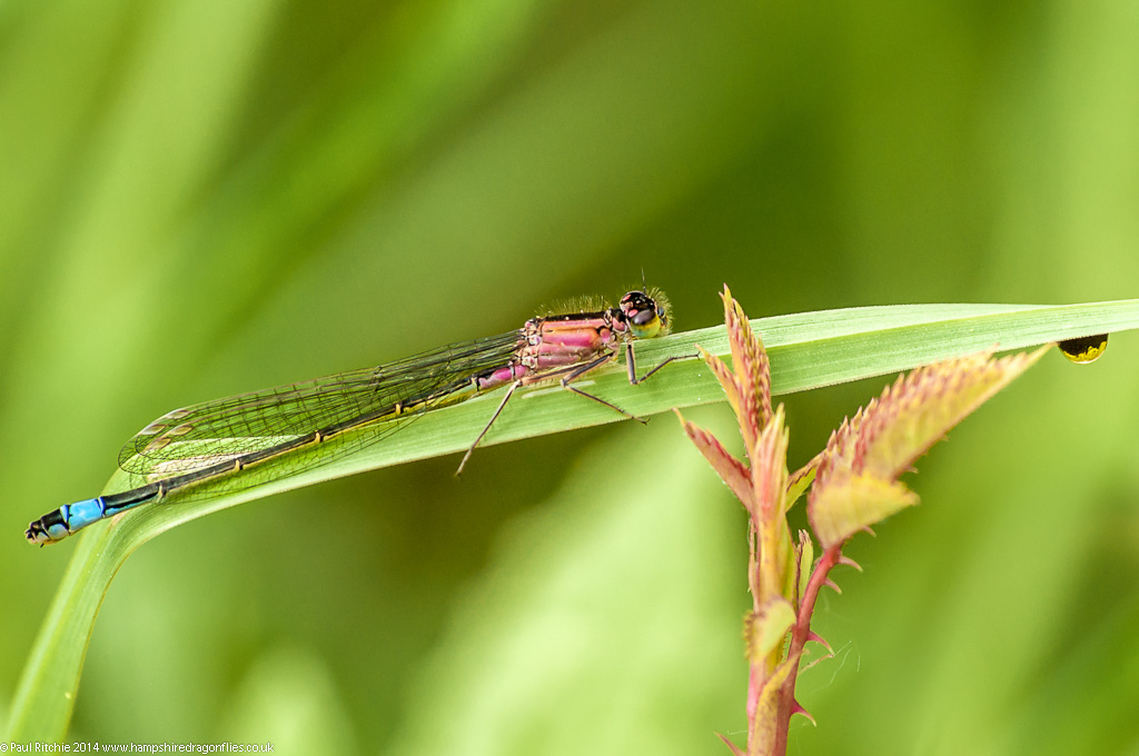 Blue-tailed Damselfly - female rufescens form