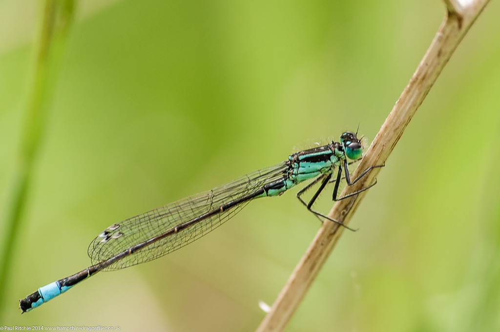 Blue-tailed Damselfly – male