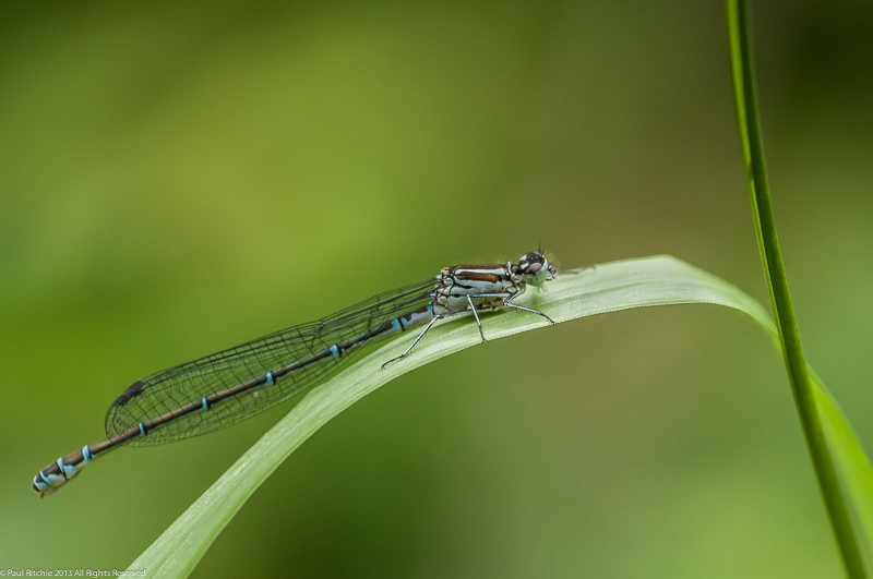 Azure Damselfly - female