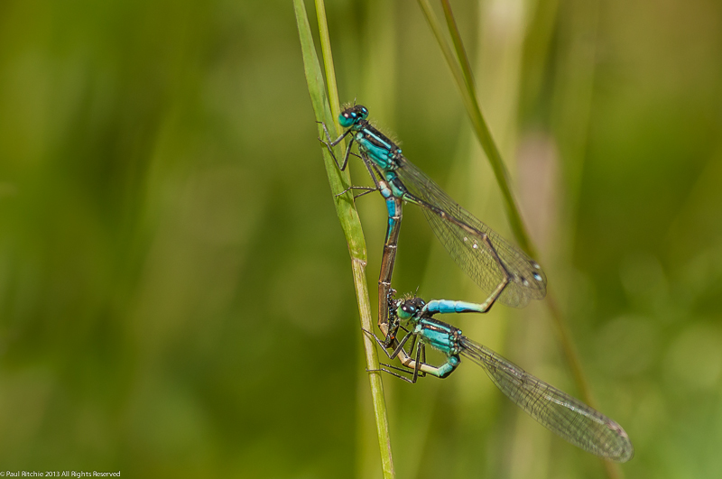 Blue-tailed Damselflies - mating pair