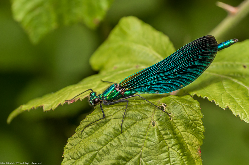 Beautiful Demoiselle - male