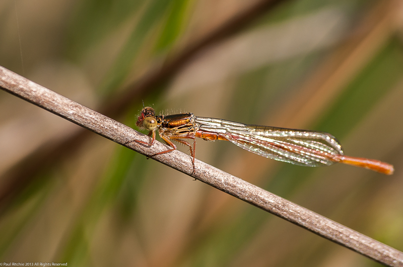 Small Red Damselfly - Teneral male