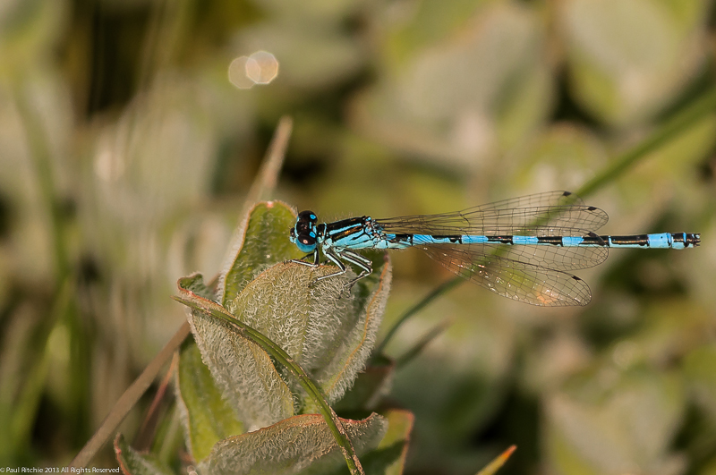 Southern Damselfly - male