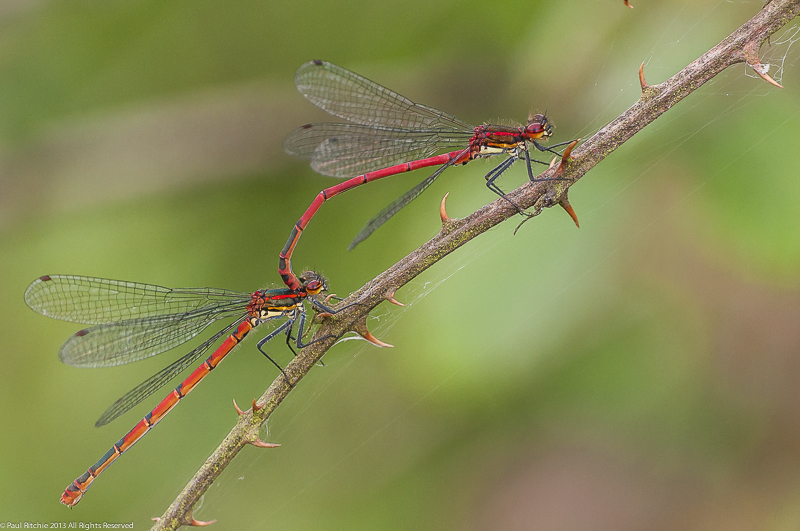 Large Red Damselflies - Tandem pair