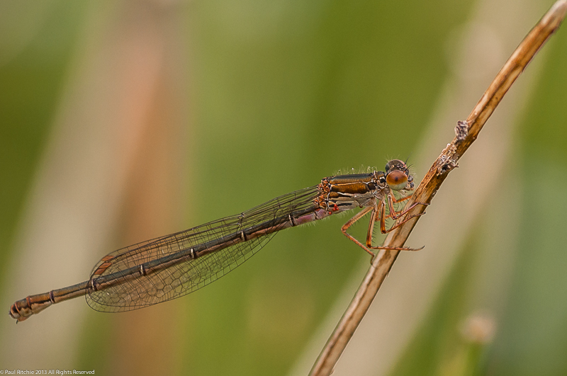 Small Red Damselfly - female