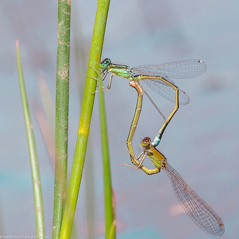 Scarce Blue-tailed Damselfly - Mating Pair
