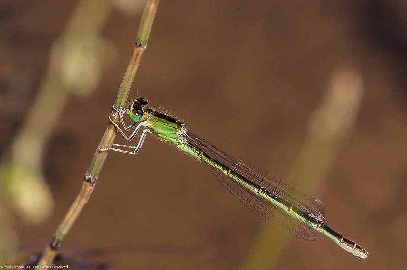 Scarce Blue-tailed Damselfly - Female