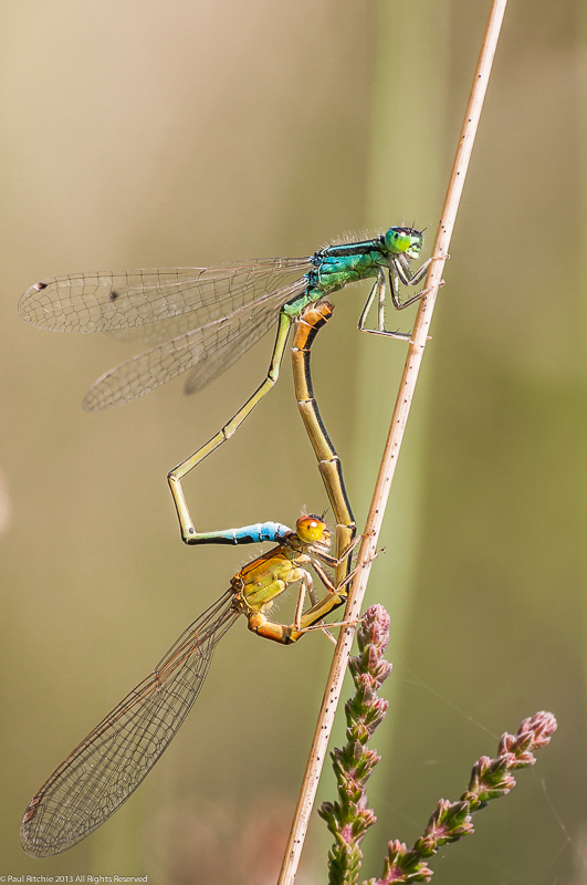 Scarce Blue-tailed Damselflies - Mating Pair