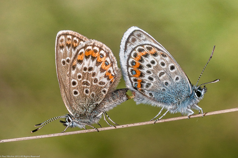 Silver-studded Blue - Mating Pair