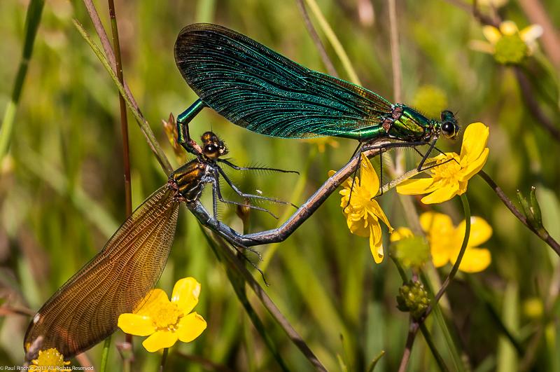 Beautiful Demoiselles - mating pair.