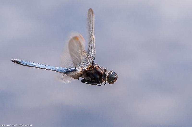 Keeled Skimmer - male