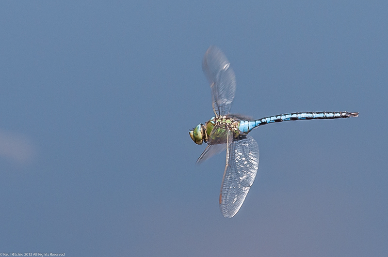 Emperor - male in-flight