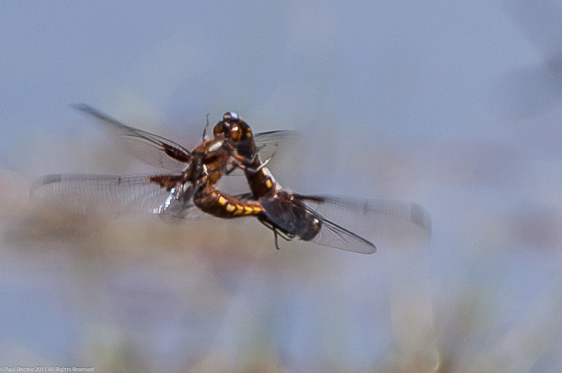 Broad-bodied Chasers - pair in cop