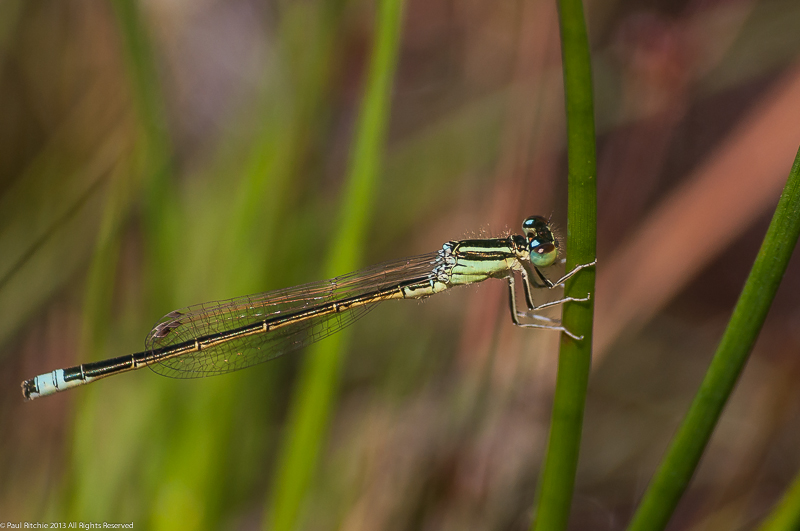 Scarce Blue-tailed Damselfly - male