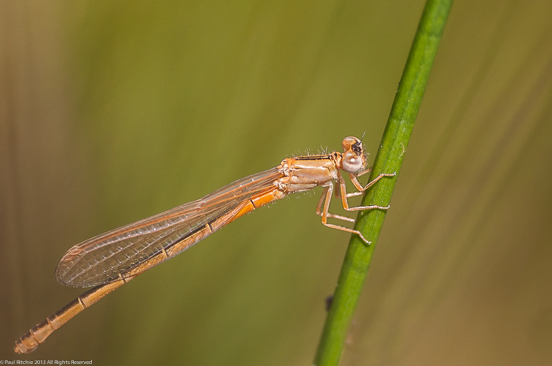 Scarce Blue-tailed Damselfly - teneral female
