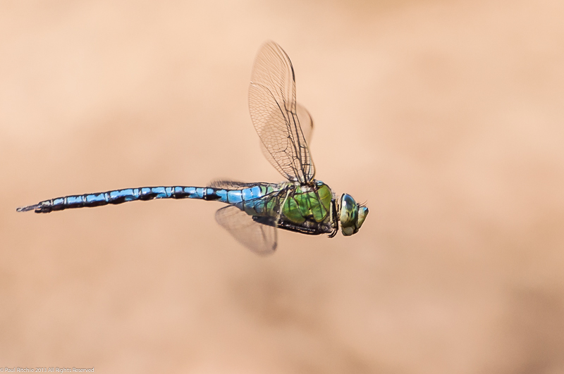 Emperor Dragonfly - male in-flight