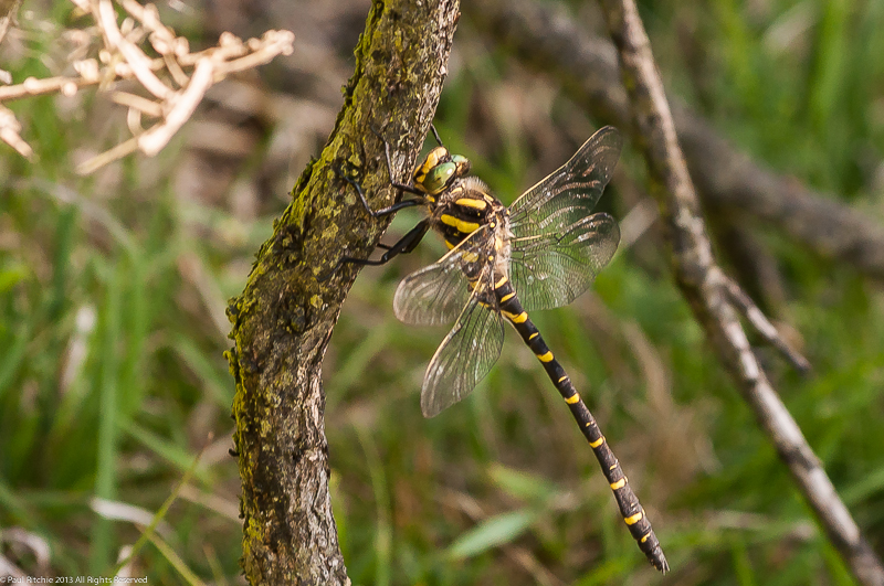 Golden-ringed Dragonfly - male