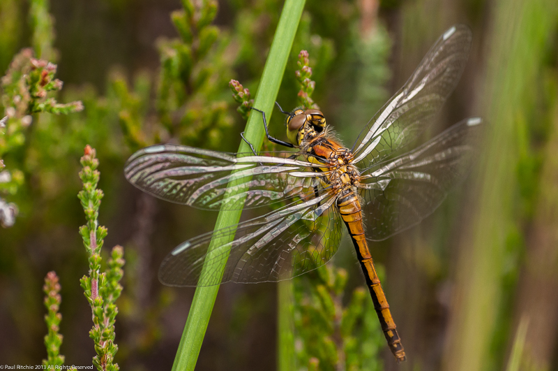 Black Darter - teneral female