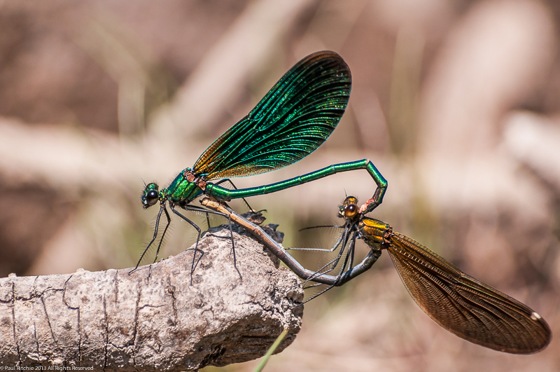 Beautiful Demoiselles - pair in cop