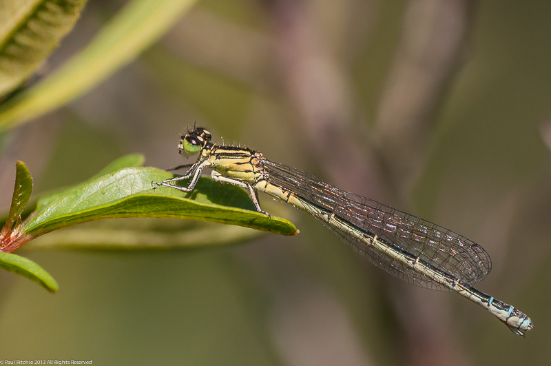 Southern Damselfly - female