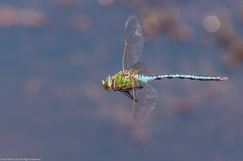 Emperor Dragonfly - male in flight
