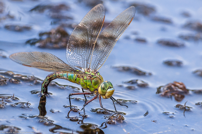 Emperor Dragonfly - female ovipositing