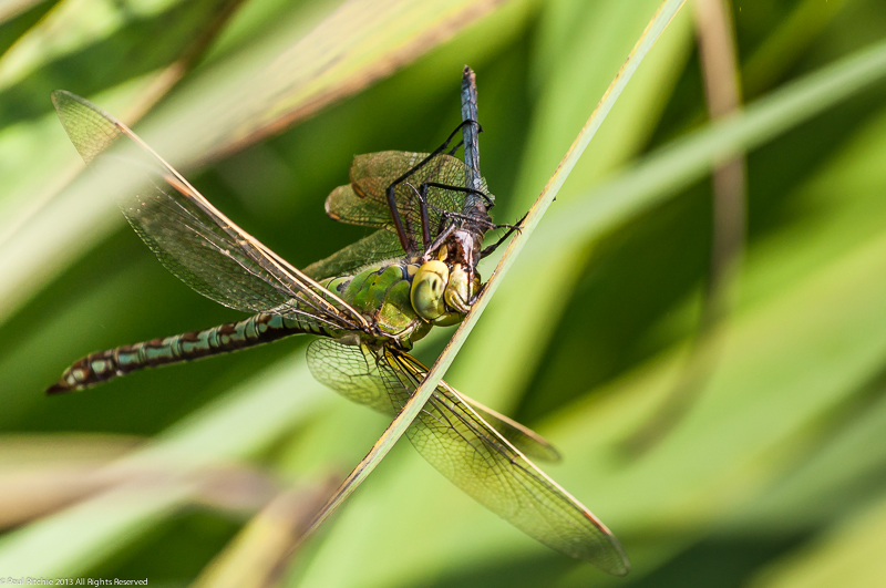 Emperor Dragonfly - female eating male Keeled Skimmer