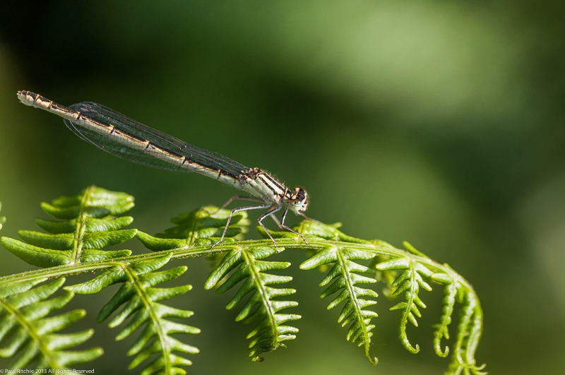 Common Blue Damselfly - female