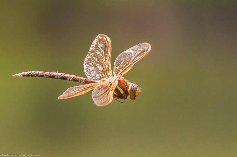 Brown Hawker - male in flight