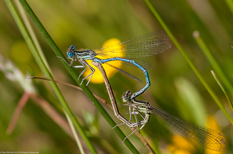 White-legged Damselflies - pair in cop