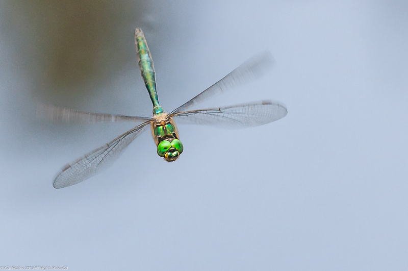 Brilliant Emerald - male